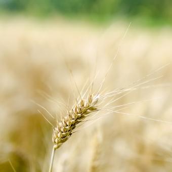 Céréales : des rendements affaiblis par la pluie