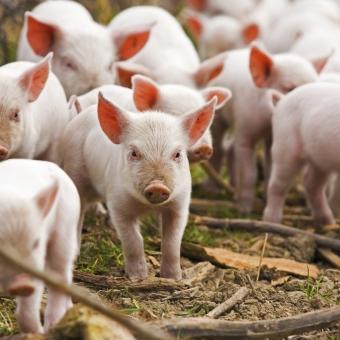 Porcs charcutiers : dynamiser la montée en puissance de la filière