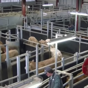 Bovinéo – Présentation de l'activité gros bovins
