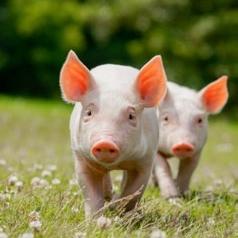 Porc Bio Atlantique : répondre aux développements du marché