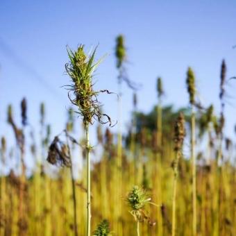 La graine de chanvre, une nouvelle valorisation qui monte en puissance