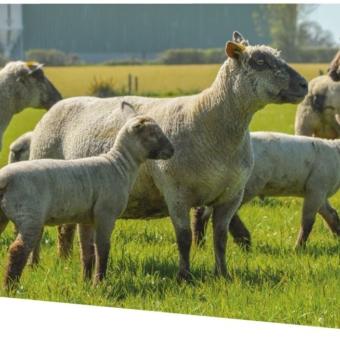 L'agneau français en priorité